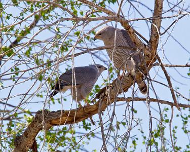 Grey Hawks