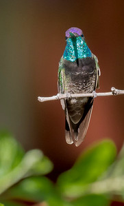 Magnificent Hummingbird, male