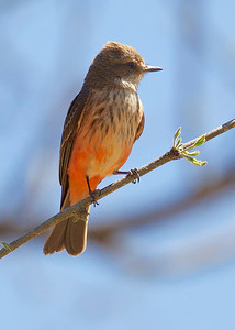 Vermillion Flycatcher, female