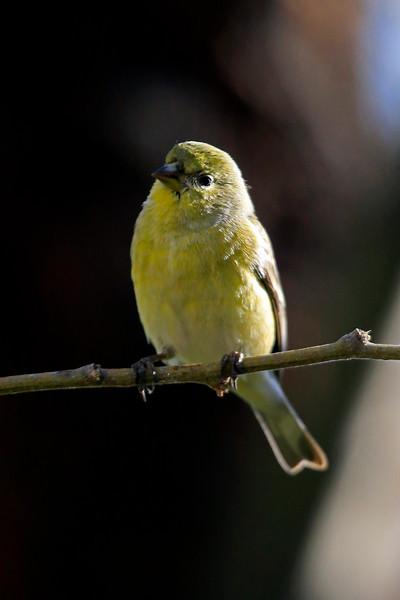 Yellowbird5156