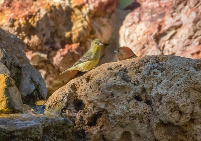 Lesser Goldfinch and Red Crossbill