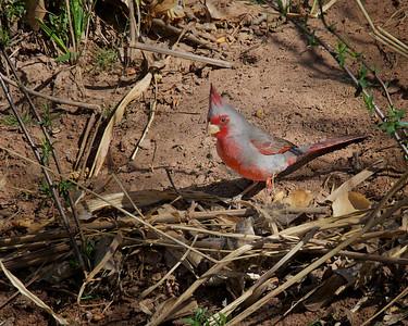 Pyrrhuloxia, Desert Cardinal