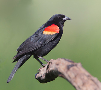 Red-Winged Black Birds