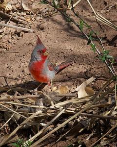Pyrrhuloxia or Desert Cardinal