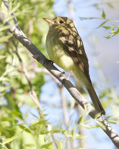 Pacifica Slope Flycatcher