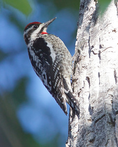 Red-napped Sapsucker, female