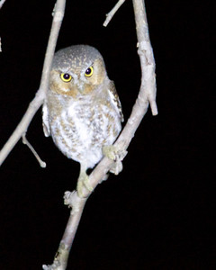 Elf Owl (lousy shot!)