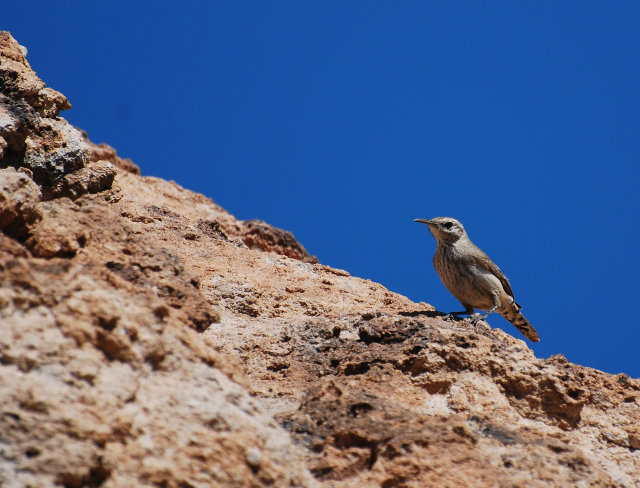 I spent a few hours on Saturday in the desert of Arizona and witnessed something interesting. I observed an encounter between a wren couple and a lizard. The birds were agitated, flying around a rock some 50 meters up the slope. I began approaching them cautiously. The birds did not pay attention to me and I came fairly close. They were flying around a gap in the rock and peeking inside with the feathers bristled. Suddenly a lizard stuck his big head out of the rock. It became apparent that the lizard had entered the nest of the birds. The birds were trying to drive the intruder away. The lizard poked his head annoyed several times more while the wrens were circling around at a distance. Eventually the poor birds flew away.<br /> <br /> I felt for them.