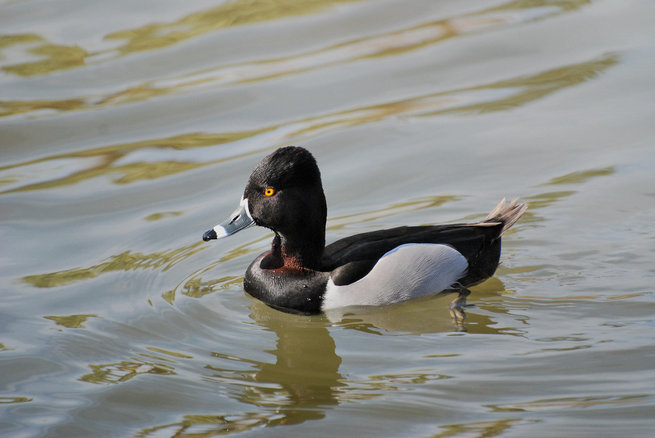 back in Phoenix;  ring necked duck