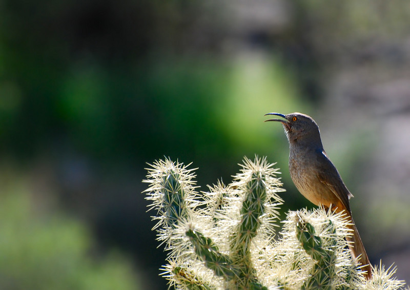 Curve-billed thrasher Toxostoma curvirostre