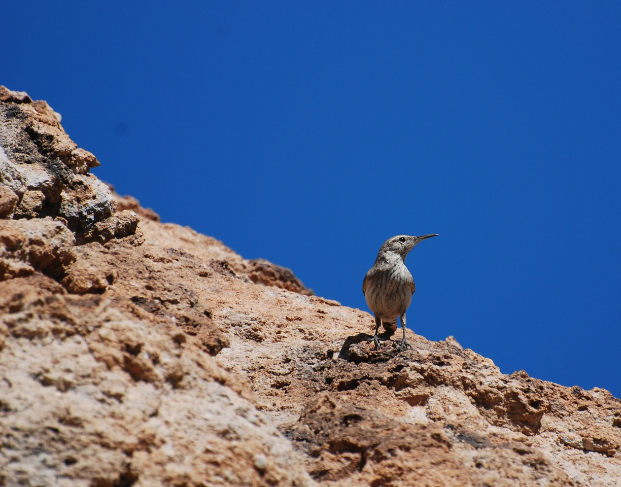 I spent a few hours on Saturday in the desert of Arizona and witnessed something interesting. I observed an encounter between a wren couple and a lizard. I saw the birds agitated flying around a rock some 50 meters up the slope. I began approaching them cautiously. The birds did not pay attention to me and I came fairly close. They were flying around a gap in the rock and peeking inside with the feathers bristled. Suddenly a lizard stuck his big head out of the rock. It became apparent that the lizard had entered the nest of the birds. The birds were trying to drive the intruder away. The lizard poked his head annoyed several times more while the wrens were circling around at a distance. Eventually the poor birds flew away.<br /> <br /> I felt for them.