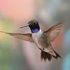 Black-chinned hummingbird,Beatty's Guest Ranch,Miller Canyon,AZ.