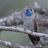 blue-throated15