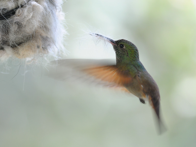 Berylline hummingbird picking up some dog hairs,Beatty's Guest Ranch,Miller Canyon,AZ.
