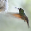 Berylline hummingbird picking up some dog hairs,Beatty's Guest Ranch,Miller Canyon,AZ.