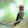Anna's hummingbird,Beatty's Guest Ranch,Miller Canyon,AZ.