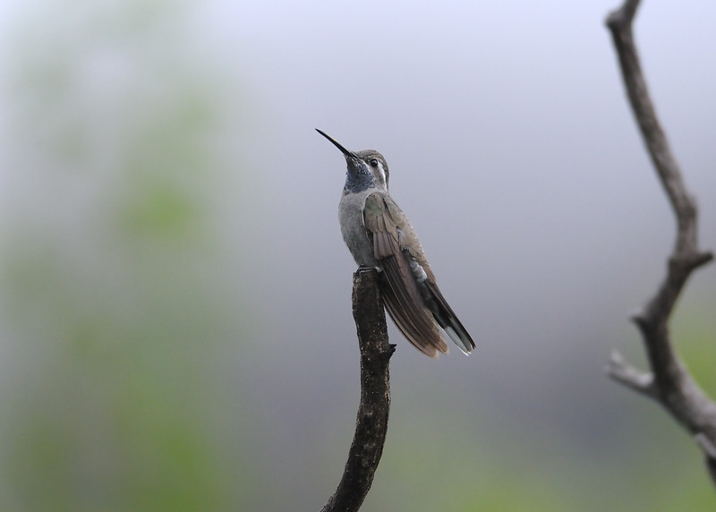 Blue-throated hummingbird,Beatty's Guest Ranch,Miller Canyon,AZ