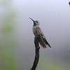 Blue-throated hummingbird,Beatty's Guest Ranch,Miller Canyon,AZ