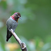 Anna's hummingbird,Beatty's Guest Ranch,Miller Canyon,AZ.