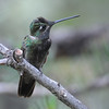 Magnificent hummingbird,Beatty's Guest Ranch,Miller Canyon,AZ.