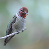 Anna's hummingbird,Beatty's Guest Ranch,Miller Canyon,AZ