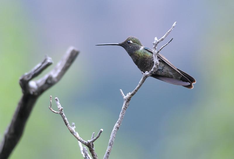 Magnificent hummingbird,Beatty's Guest Ranch,Miller Canyon,AZ.