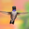 Black-chinned hummingbird,Beatty's Guest Ranch,Miller Canyon,AZ.