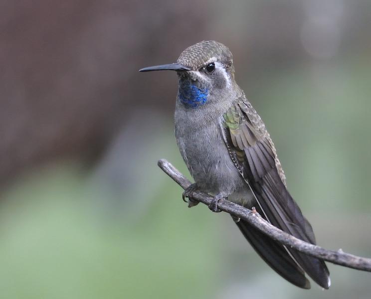 Blue-throated hummingbird,Beatty's Guest Ranch,Miller Canyon,AZ.