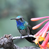 Broad-billed hummingbird,Beatty's Guest Ranch,Miller Canyon,AZ.