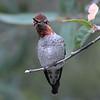 Anna's hummingbird,Beatty's Guest Ranch,Miller Canyon,AZ