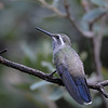 Blue-throated hummingbird,Beatty's Guest Ranch,Miller Canyon,AZ.