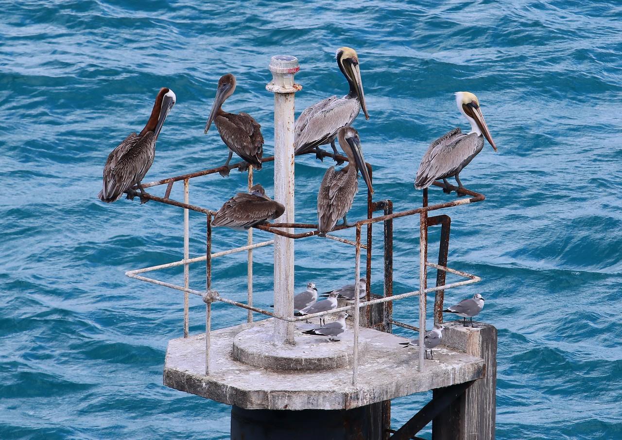Eastern & Western Brown Pelicans