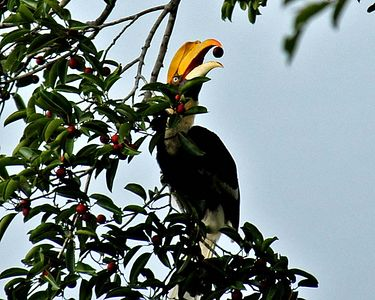 Great Hornbill - female note white eye