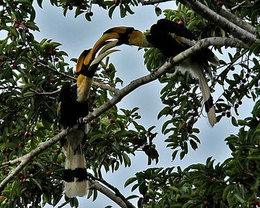 Two young male Great Hornbills