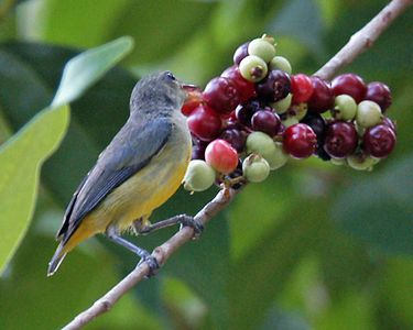 Orange-bellied Flowerpecker - female