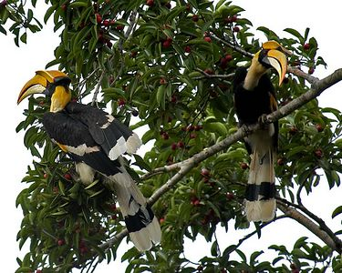 Great Hornbill Most of these are males as noted by red eye