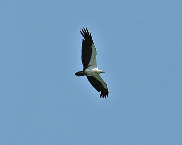 White-bellied Sea-Eagle Langkawi is named after the Malay word for this bird