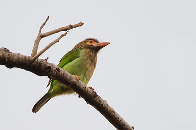 Brown-headed Barbet - Record - Pench National Park, Madhya Pradesh, India