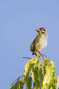 Coppersmith Barbet - Ambazari garden, Nagpur, India
