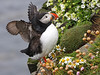 Atlantic Puffin Iceland