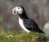 Atlantic Puffin Iceland with Eel