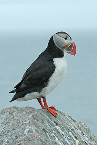Puffin - Atlantic - Machais Seal Island, Maine