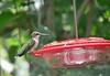 Hummingbird at home