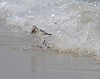 Sanderling at Plymouth