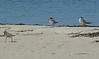 Least Terns and strolling Semipalmated Plover
