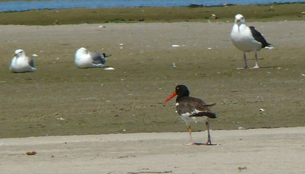 American Oystercatcher sporting a yellow band on its upper left leg.