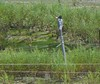 Kingfisher with fish at new marsh at Atlas Tack