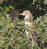 Roosting juvie Black-crowned Night Herons
