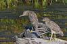 Two more juvie Black-crowned Night Herons