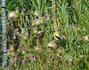 Goldfinch - Atlas Tack